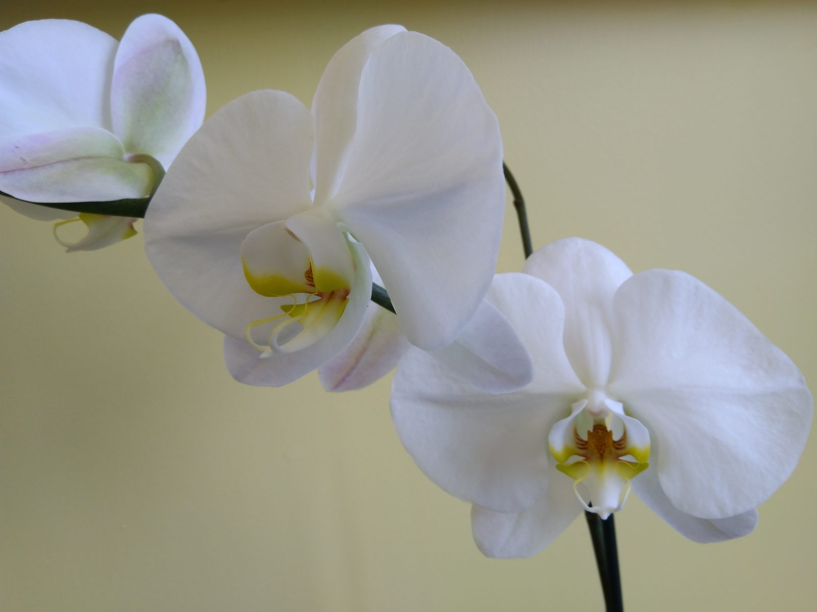 Healthy looking blooming orchid that has obviously been taken care of extremely well
